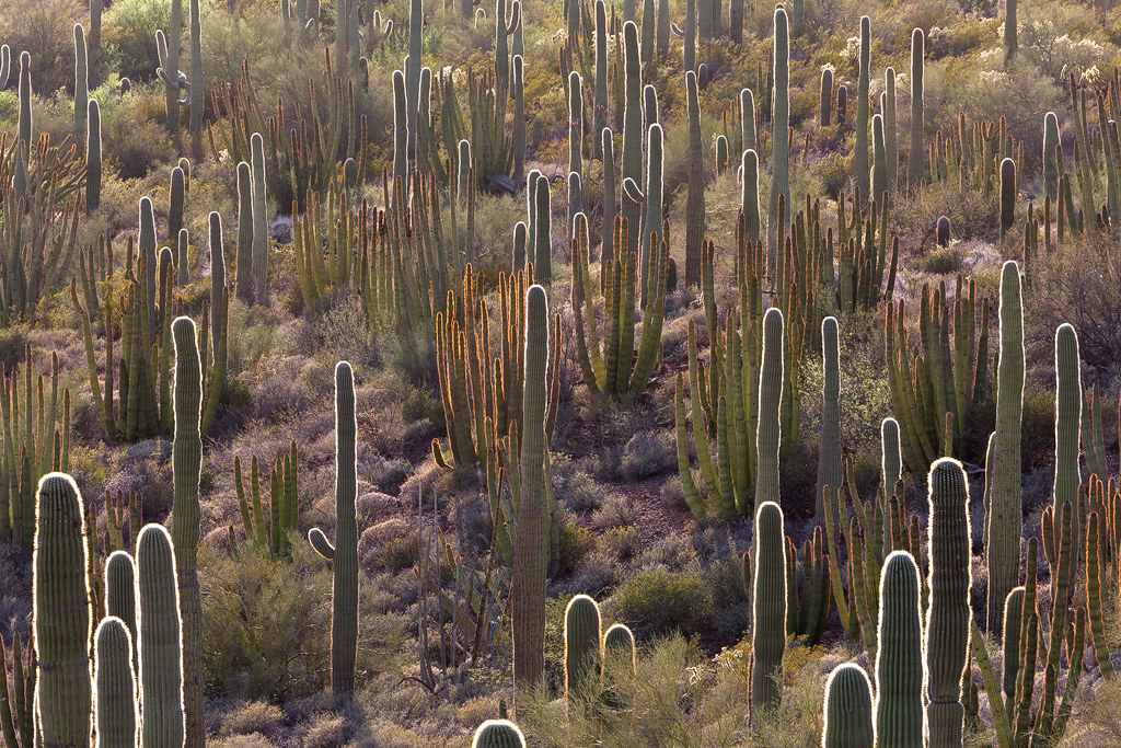 Organ Pipe Fuzzies. Backlit Saguaro and red-fringed Organ Pipe cactus. The Sonoran Desert is called the green desert for a reason!