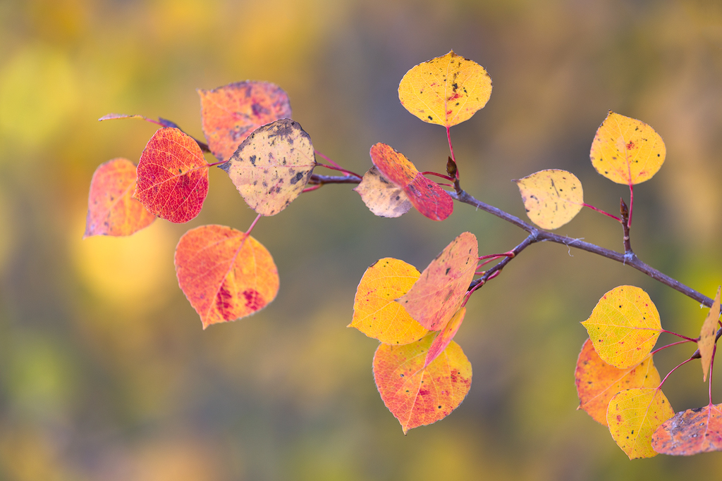 Colorful Blurries. Multicolored aspen leaves photographed against a colorful blurred out background. Aspen leaves in fall can be all sorts of colors, not just the common yellow and gold.
