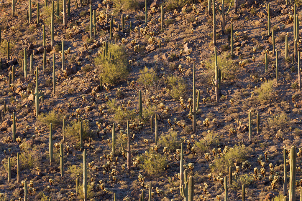 Saguaro Forest. Saguaro, cholla, and green octotillo frame a hillside in the Sonoran Desert in Arizona.