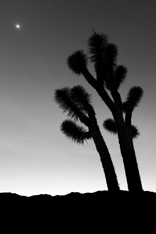 A Joshua Tree at twilight in Death Valley National Park, California.