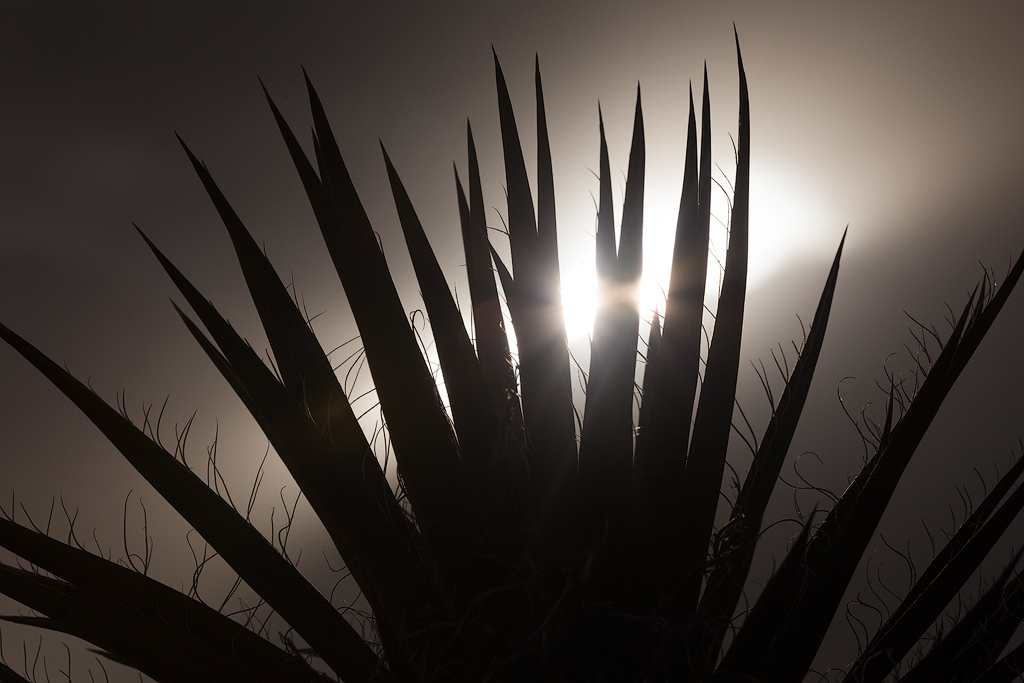 Mojave Yucca. This distinctive plant's shape is highlighted using a silhouette, and the bright sun shining through serves as a focal point.