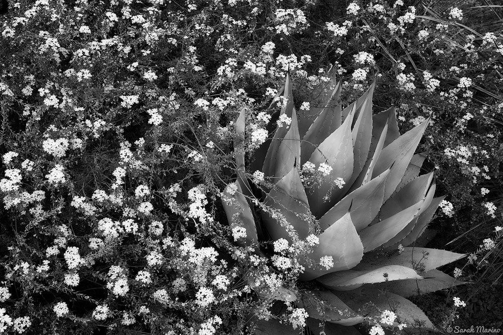 Wildflowers grow around an agave at a garden in Arizona.