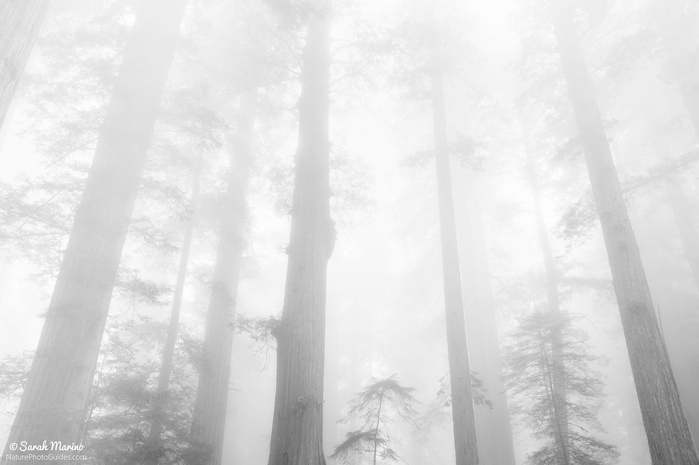 Foggy Forest: This photo is also of the trees in Redwoods National Park but was taken on a day with thick fog. The fog gives the scene a much different mood than the photo above, even though the subject of both photographs is similar.