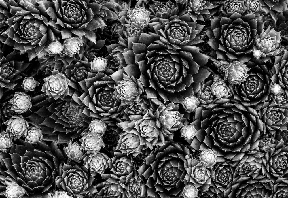 Hens & Chicks: This patch of hens and chicks had a lot of fresh growth when I took this photo. The older rosettes are darker green whereas the new growth is light pink. This color contrast helps make converting this photo to black and white easier. The greens can be darkened and the light pinks can be brightened, creating tonal contrast.