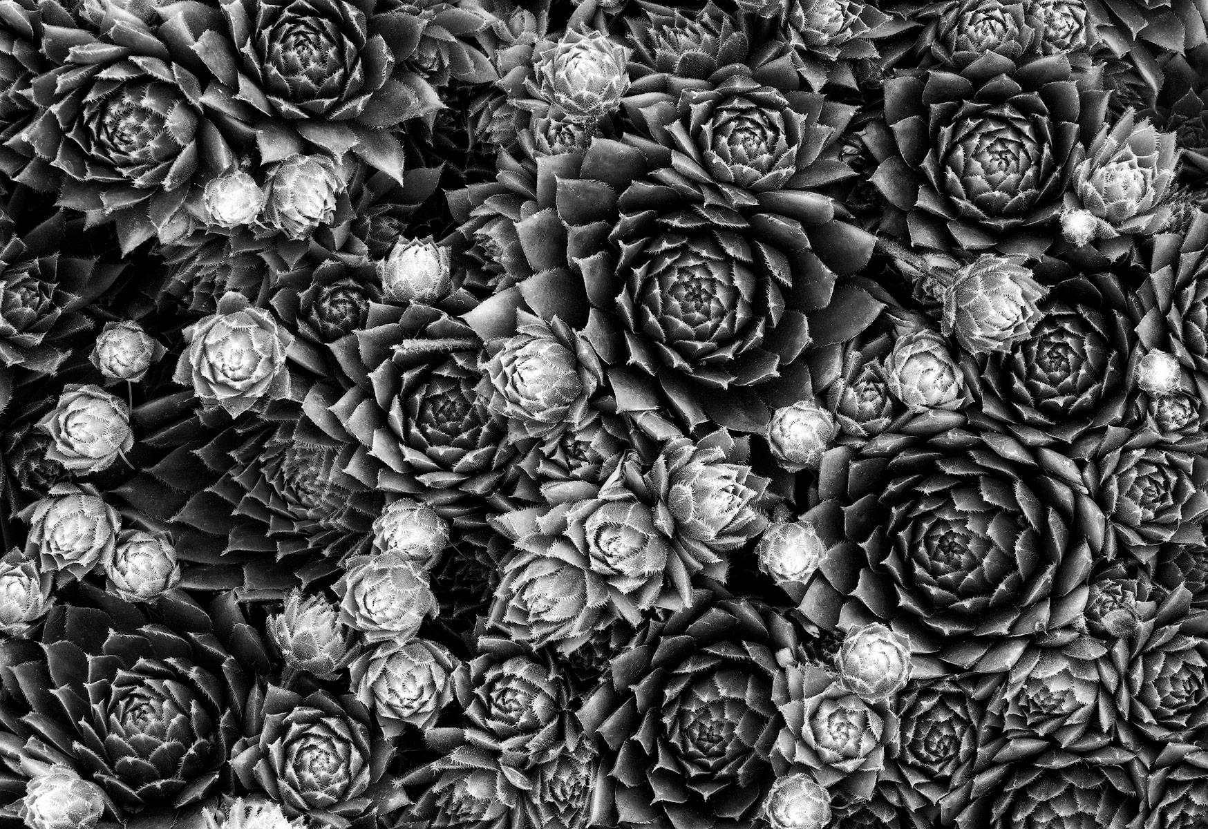 Sarah-Marino-Succulents-BW-1200px.jpg