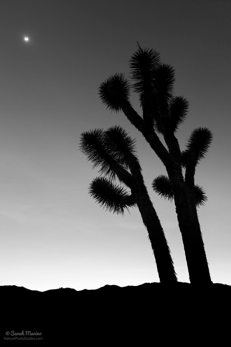 Sarah-Marino-Black-White-Joshua-Tree-Silhouette-1200px.jpg