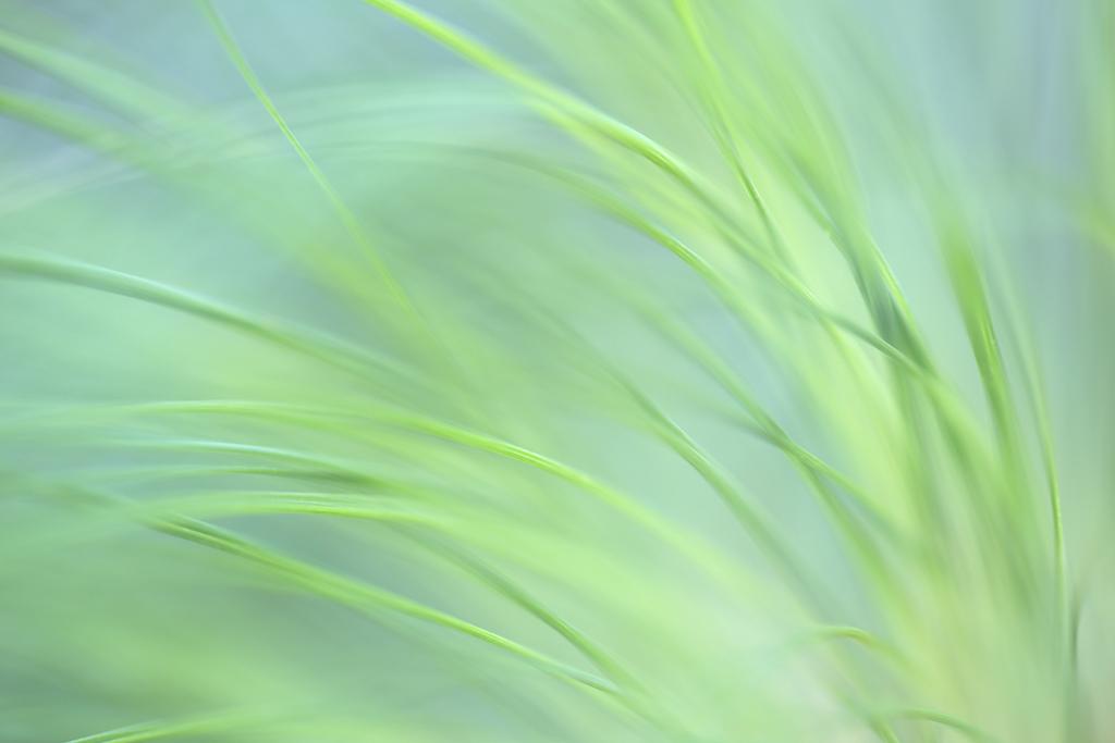 """Pastel Grasses"" - Papyrus in soft light at the Huntington Garden near Pasadena"