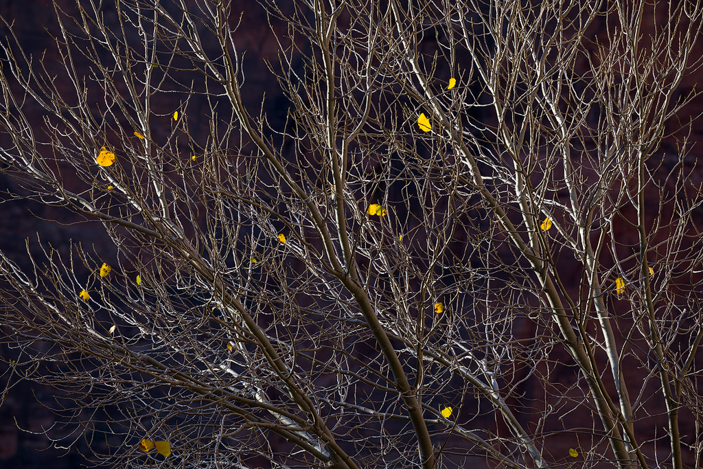 """""""Last to Leave"""" - A few persistent leaves cling to a tree in Zion Canyon"""