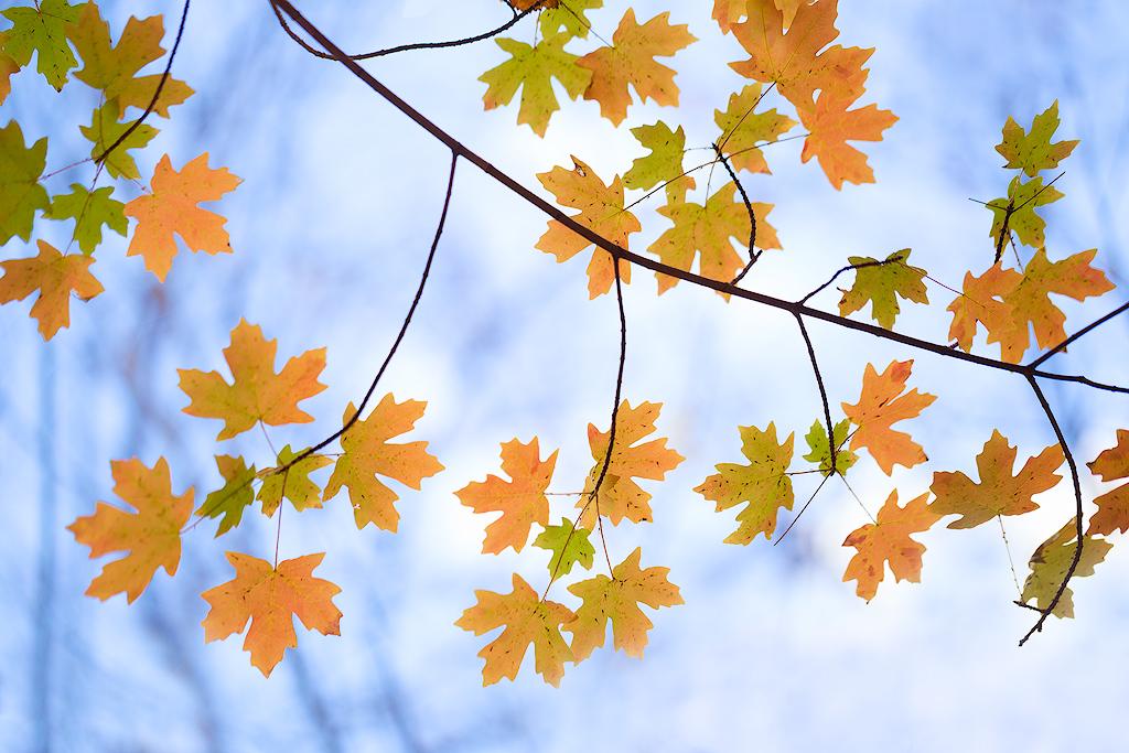 """Autumn Sky"" - Fall foliage contrasts against a blue sky"