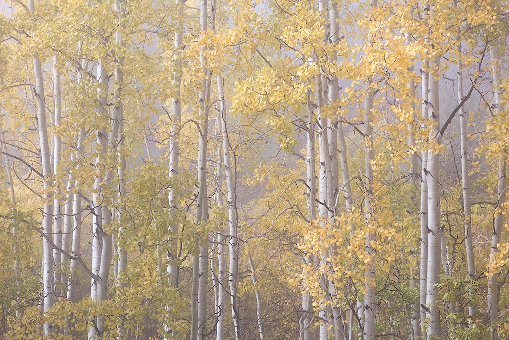 """""""Fogged"""" - Fall aspens in a layer of ephemeral fog"""
