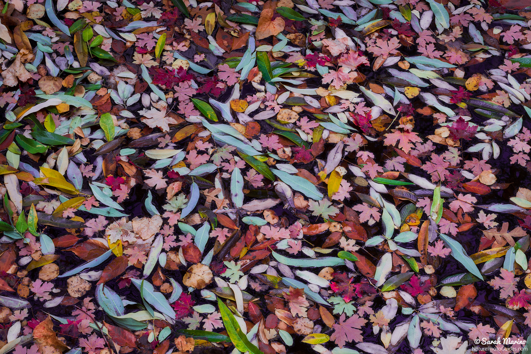 A pond filled with colorful leaves, found somewhere in North America.