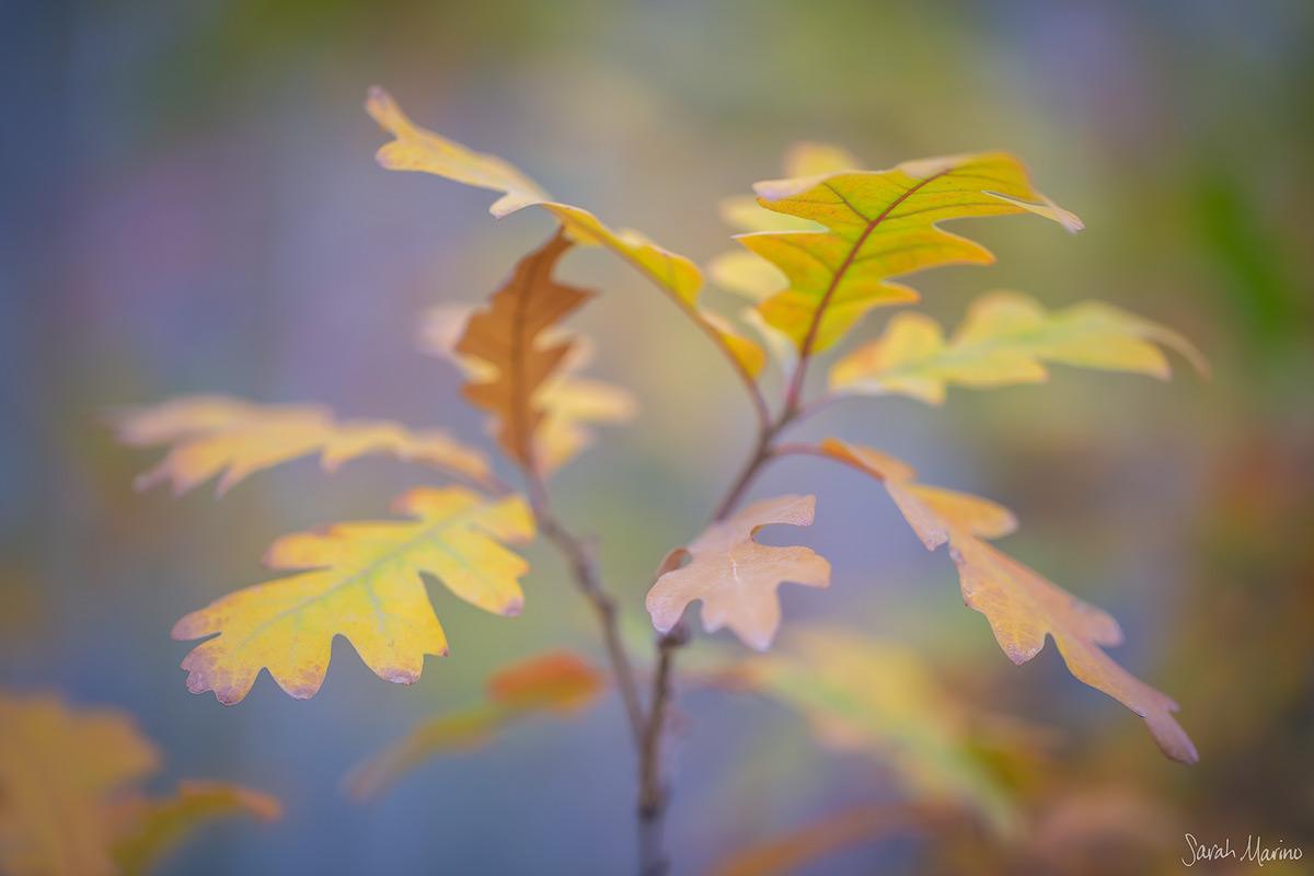 Oak Leaves, Colorado