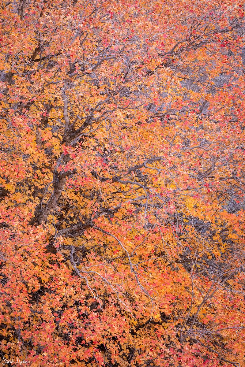 Eastern Plateau Maples, Zion National Park