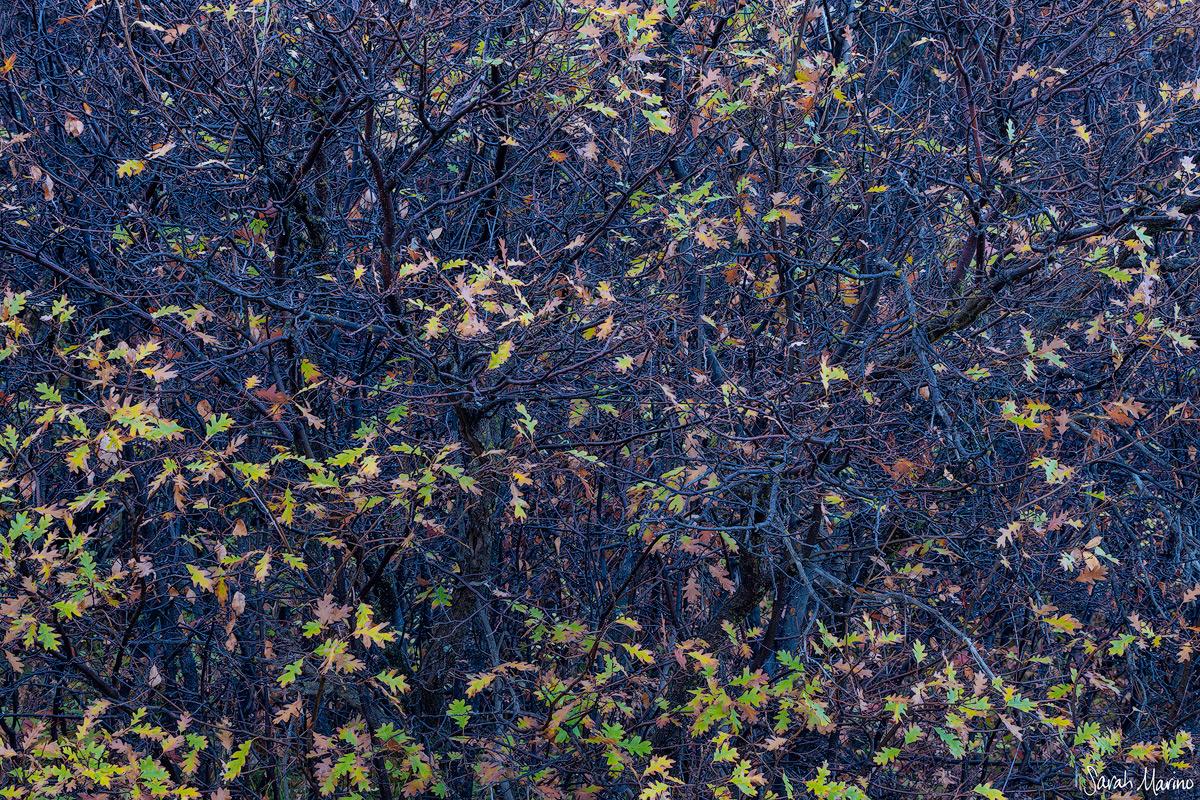 Late Autumn Oaks, Colorado
