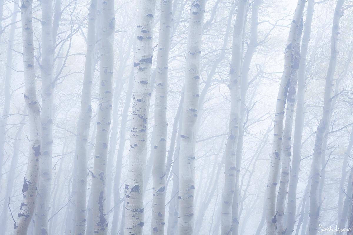 Foggy Aspens, Colorado