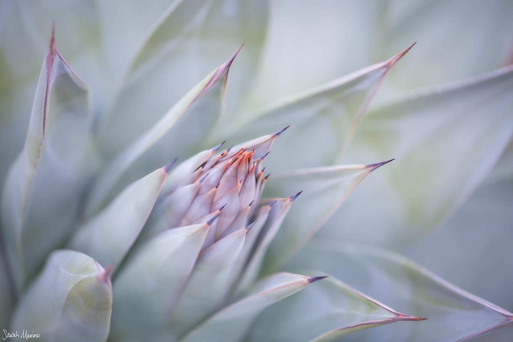 Sarah-Marino-California-Mojave-Agave-1200px-Watermark.jpg