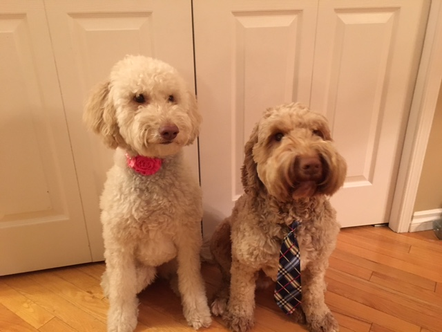 Ginger on the left (a Bow Valley girl) and Washington on the right. These doodles love their buddies:)