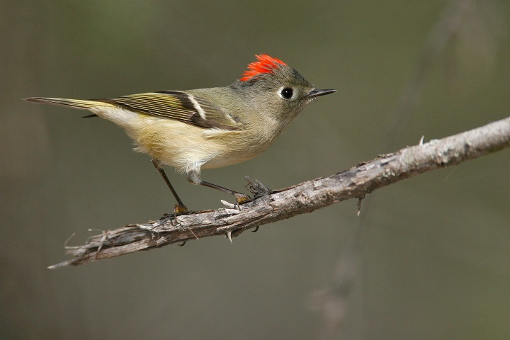 Ruby Crowned Kinglet. Photo by Brian Small, National Audubon Society