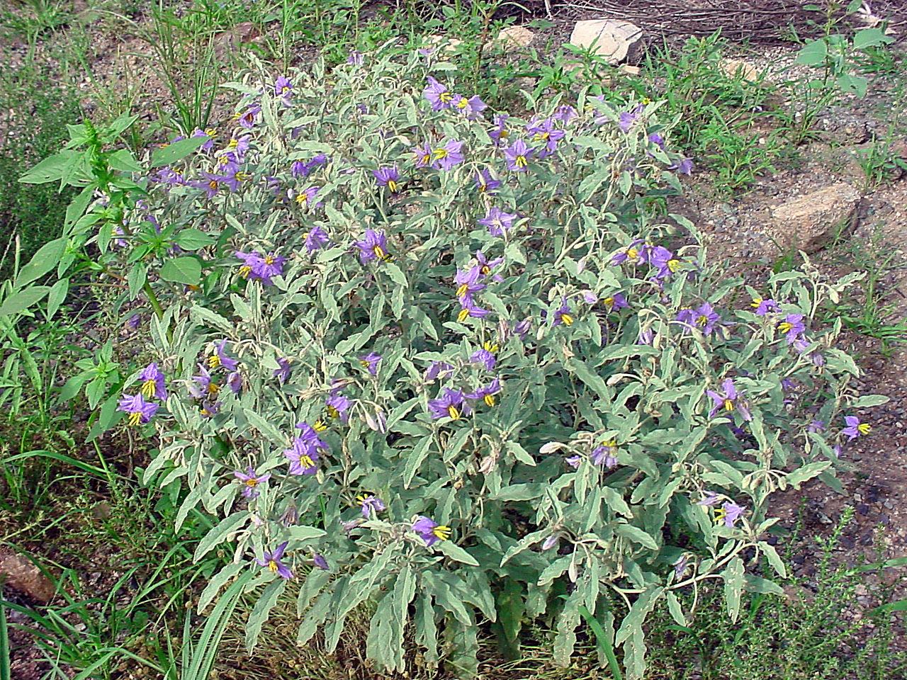 Silverleaf nightshade,  Solanum elaegnifolium