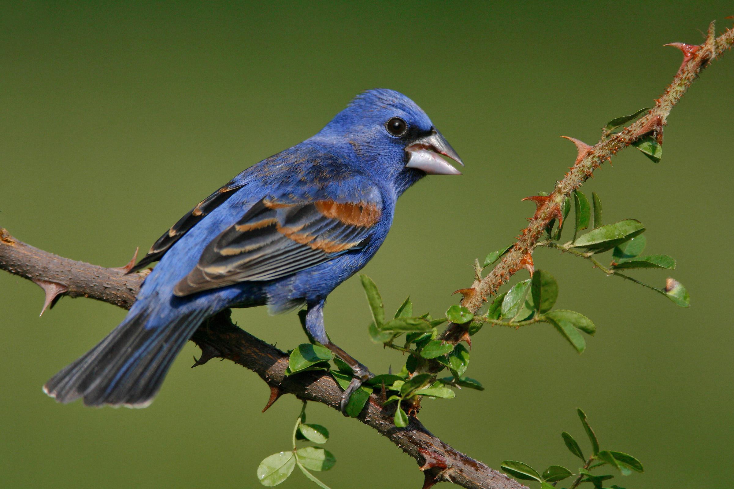 Blue Grosbeak, image from National Audubon Society