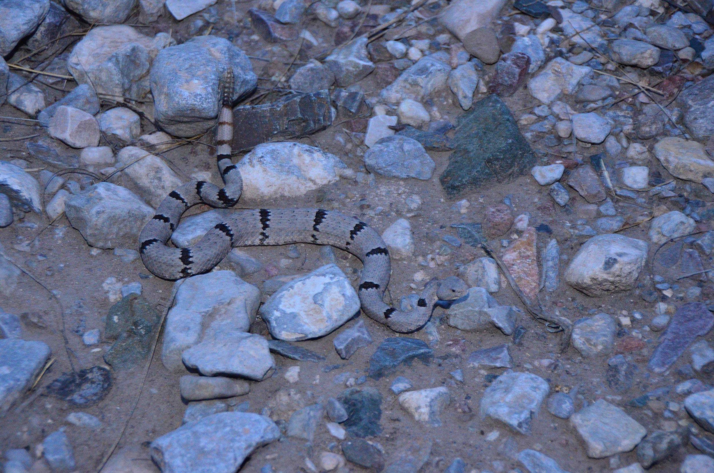 Banded Rattlesnake, Crotalus lepidus klauberi