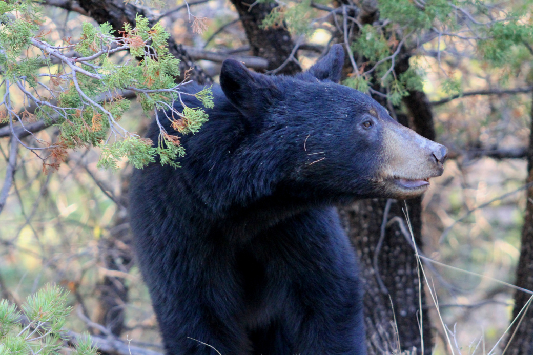 Mexican Black Bear in the Chisos Mountains of Big Bend  National Park, Photo by Rick LoBello