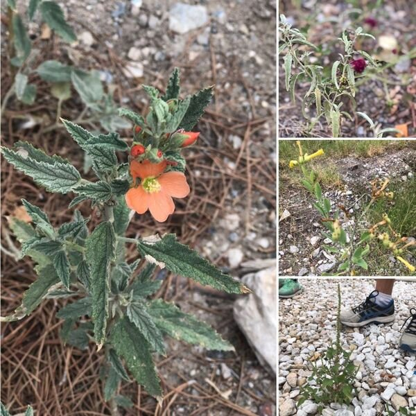 Bottom right, Amaranth; Top right, Pundarnava Flowers; Middle right, Mexican tree tobacco; Left, Silverleaf Nightshade. Pic by Jackie