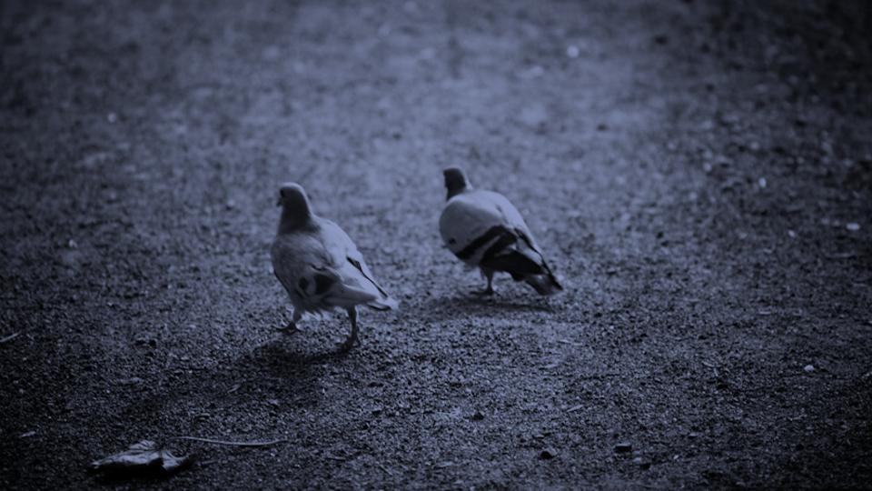 Doves / 2009 / Ivan Ralchev / CC via  Flickr