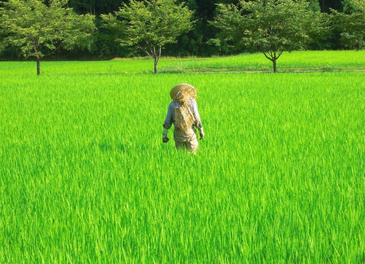 a farmer on his rice paddy mid-summer.JPG