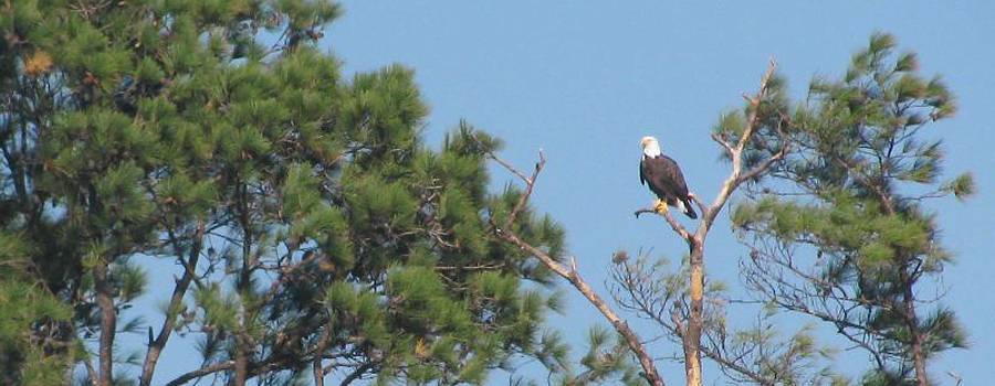 Copy of Bald Eagle - Rover Boat Tours
