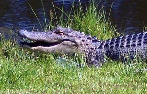 Alligator - Rover Boat Tours