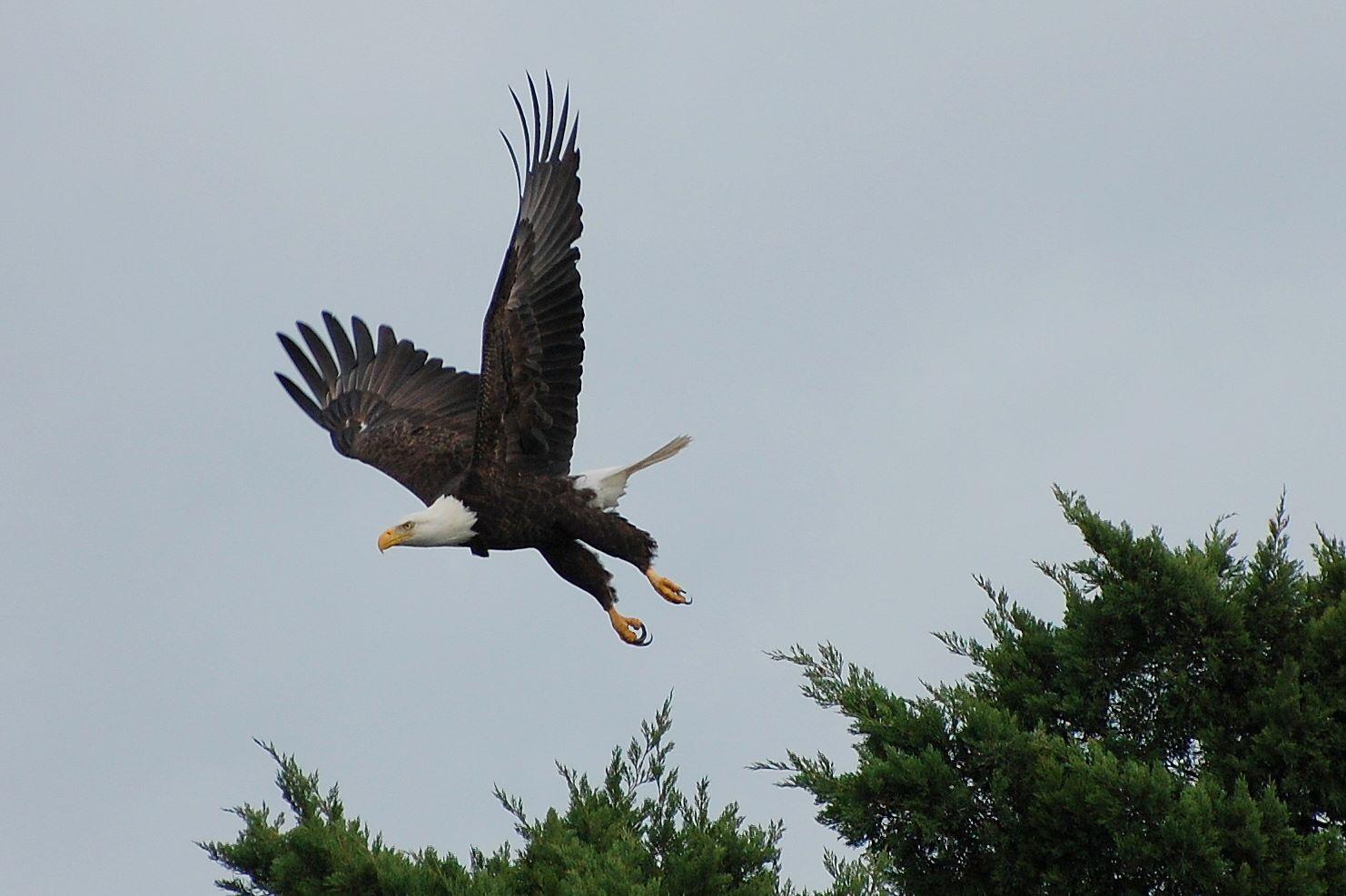 RBT - bald eagle.jpeg