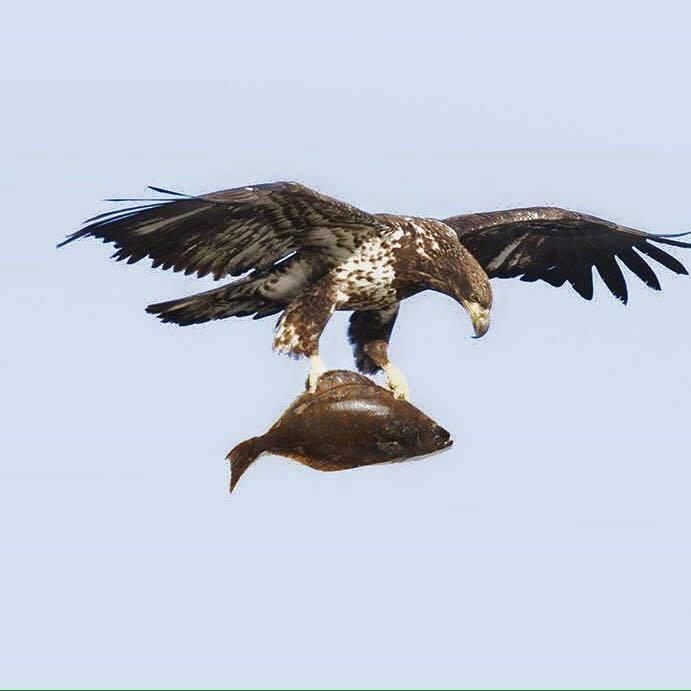 RBT - hawk with flounder.jpeg