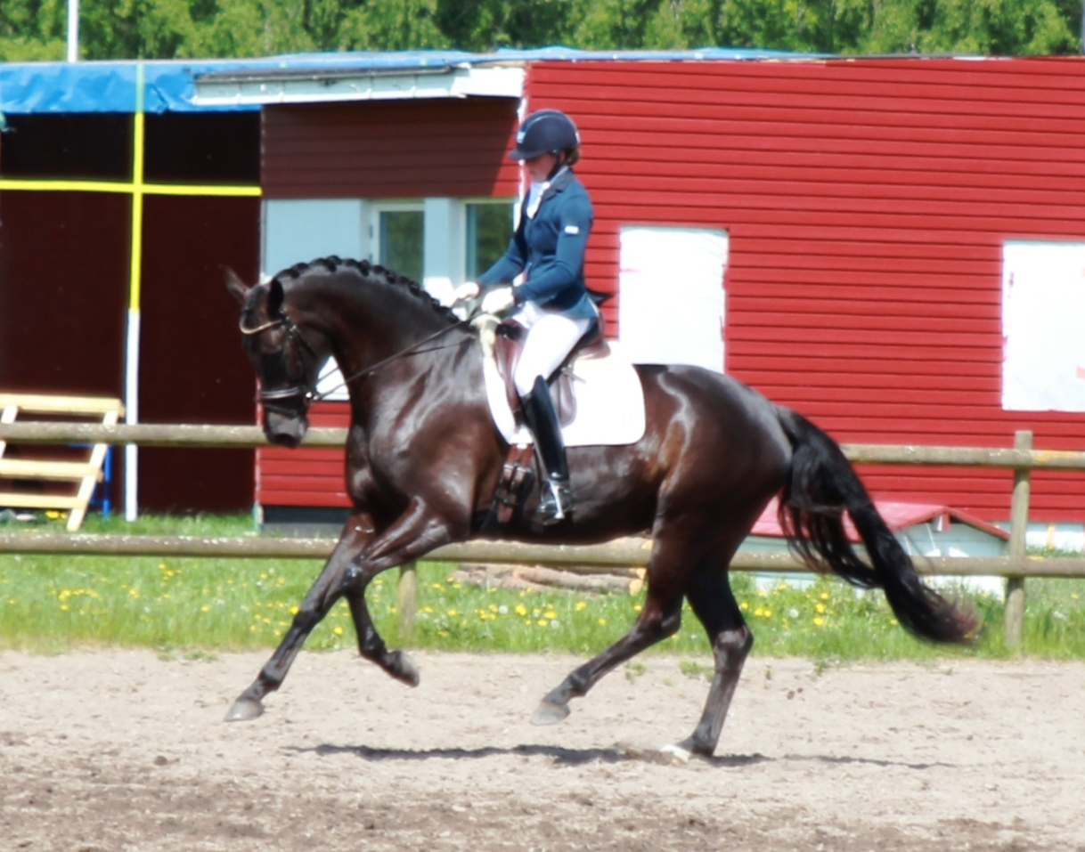5yo Corona is now qualified for Falsterbo Horse Show in July. It will be our first time showing there and we are really looking forward to it. She is such a great and beautiful little horse!