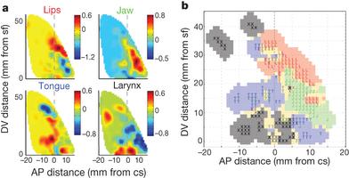 Bouchard, Mesgarani, Johnson, Chang.  Functional organization of human sensorimotor cortex for speech articulation . Nature  2013.