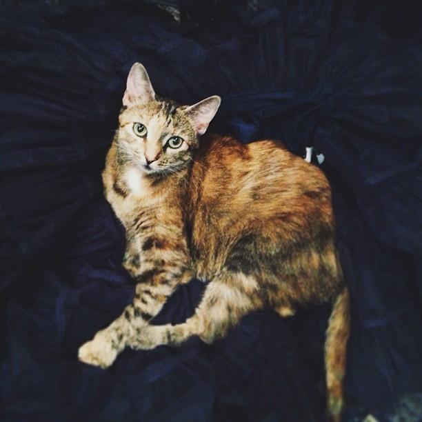 pearl #cat lounging on black #tutu #vsco #vscocam #instamood