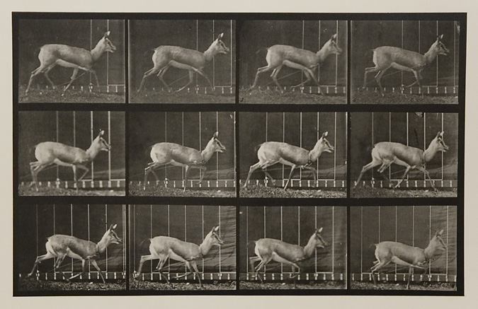 Antelope trotting.   Plate 697 from  Animal Locomotion , ca. 1887. Vintage Collotype, printed 1887. Image measures 8 5/8 x 13 3/4 inches. Inventory #MU023.  Terms  |   Inquire