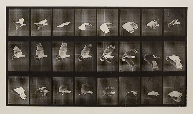 Cockatoo flying.   Plate 758 from  Animal Locomotion , ca. 1887. Vintage Collotype, printed 1887. Image measures 8 x 14 1/2 inches. Inventory #MU038.  Terms  |  Inquire