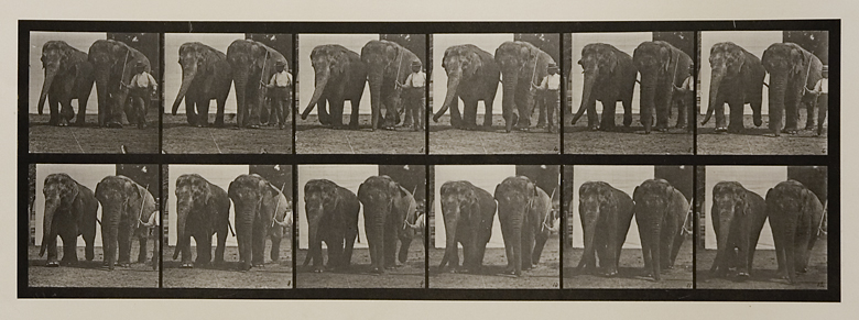 Two elephant walking.   Plate 734 from Animal Locomotion. ca. 1887. Vintage Collotype, printed 1887. Image measures 6 1/4 x 18 1/4 inches. Inventory #MU032.  Terms  |   Inquire