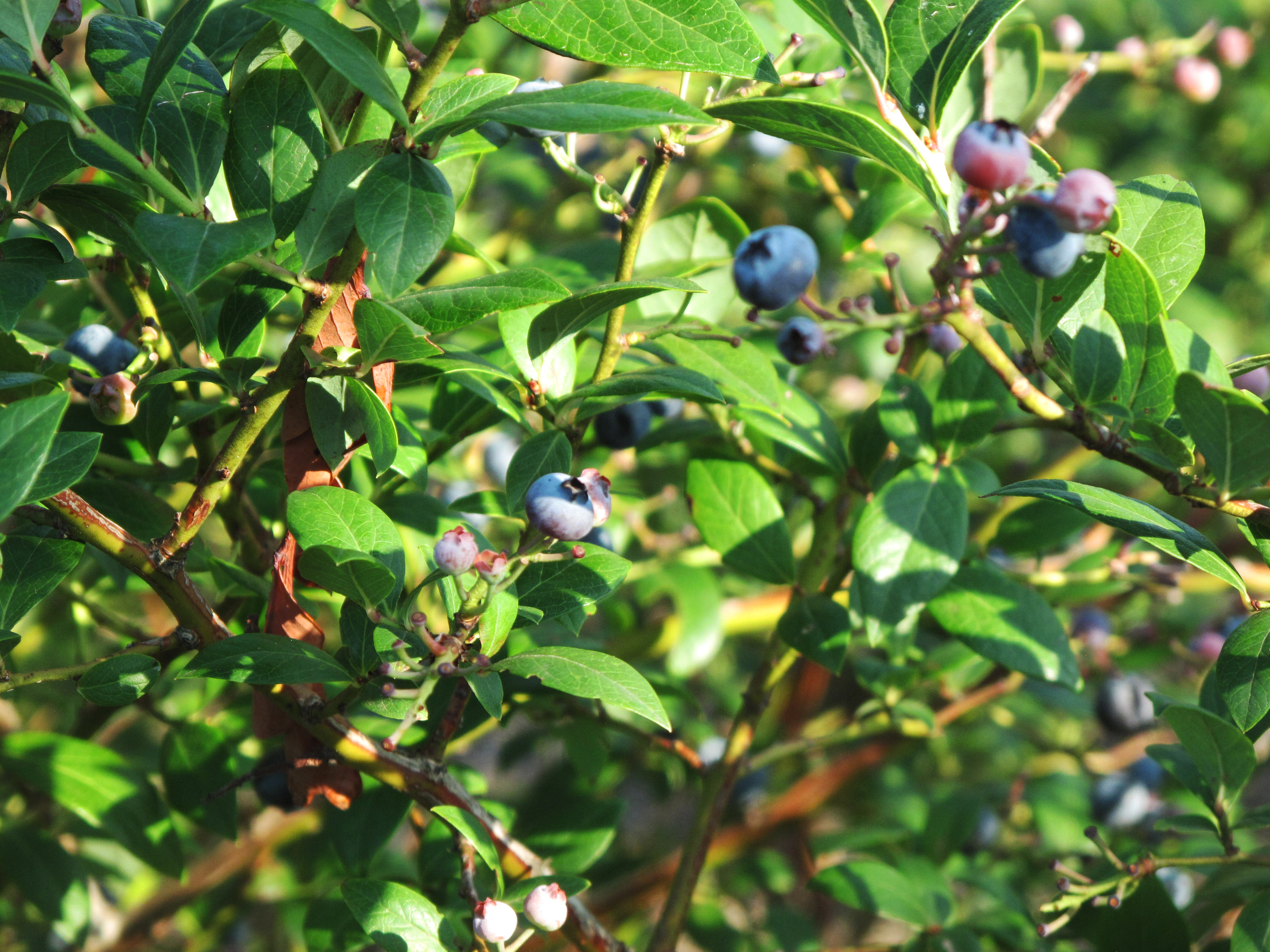 When picking blueberries, look for the darkest blue possible. - Photo by Rachel J. Weston