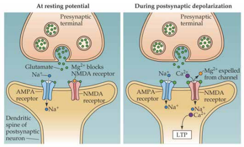 """In this diagram, magnesium (Mg2+) is blocking Glutamate from docking on the NMDA receptors on a nerve cell. This reduces the strength of the glutamate signal, and """"calms down"""" the signalling between nerve cells, (remember that glutamate """"excites"""" nerve signalling)."""