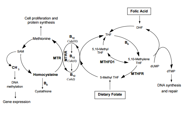 On overview of the methylation cycle. Note the B-vitamins required; B6, B12, Dietary Folate and Folic Acid