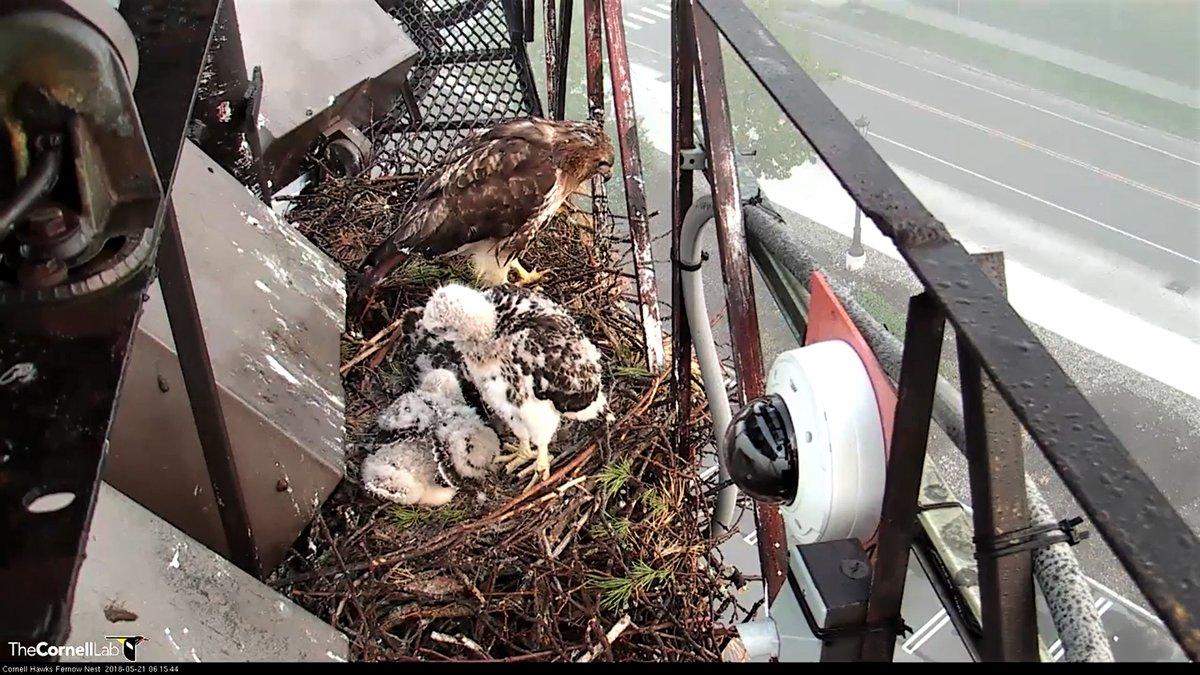 Photo 11-nestlings3.jpg