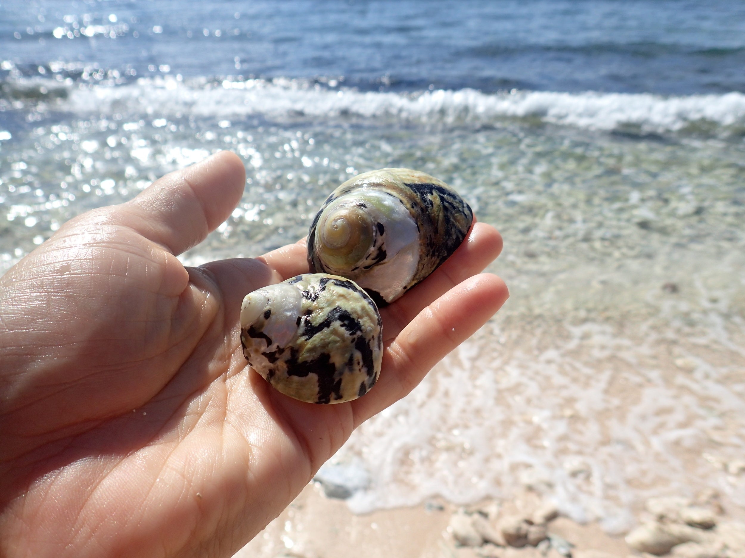 West Indian top shells at Reef Bay