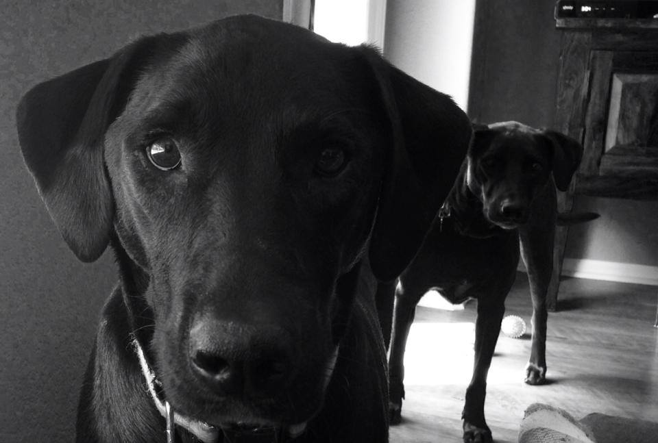 Beezle and Disco, our two pain-in-the-ass rescue lab mixes