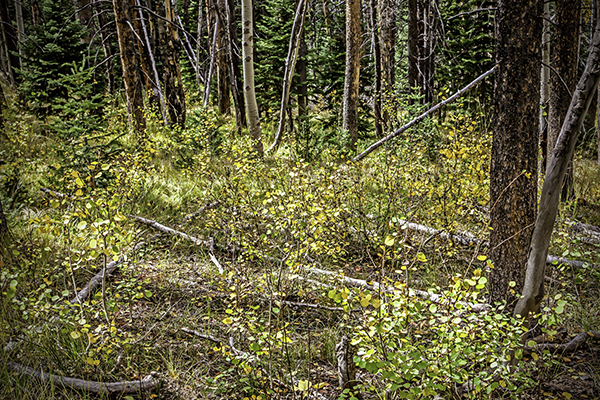 "Saplings - Wyoming   Photographic Print  1 6""x24""  Print $365  22""x30"" Framed $500"