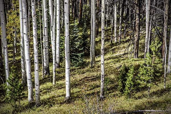 """Young Evergreens - Wyoming   Photographic Print   16""""x24""""  Print $365  22""""x30"""" Framed $500"""