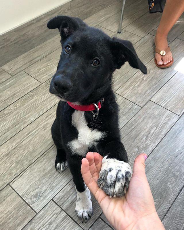"""Gimme paw"" 😭😭😍😍🥰🥰❤️❤️😘😭 . . #germanshepherdmix #germanshepherdpuppy #veterinarian #vetmed #veterinarymedicine #animaldoctor #dogtor #vetlife #puppy #gimmepaw"