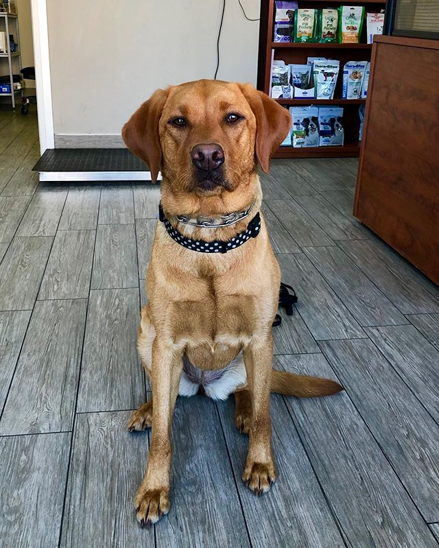 My name is Jewell. I'm a fox red lab 🦊. Mom says I'm a little terror at home but when I see Dr. Nev I'm on my best behaviour (she gives me a lot of treats). . . . #foxredlab #foxredlabrador #labsofinstagram #labradorretriever #vetmed #vetlife #animaldoctor #veterinarian #veterinarymedicine #dogtor #lab