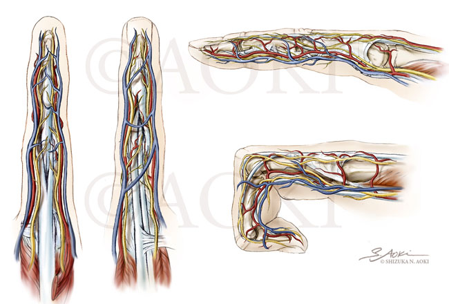 Anatomy of the Index Finger (Dorsal, Palmar, and Lateral Views) Medium: Graphite and Digital © Aoki Science Art | Anatomize.ca